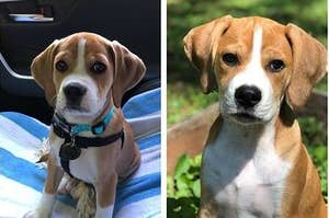 Beagle puppy, then the Beagle as an adult