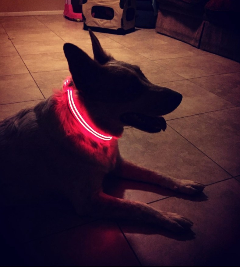 A dog sitting in darkness with a glowing red LED collar
