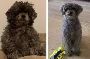 Before photo of furry dog looking disheveled and after photo of the same dog looking freshly groomed