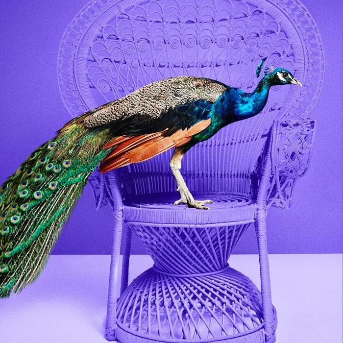 a peacock standing on a purple chair