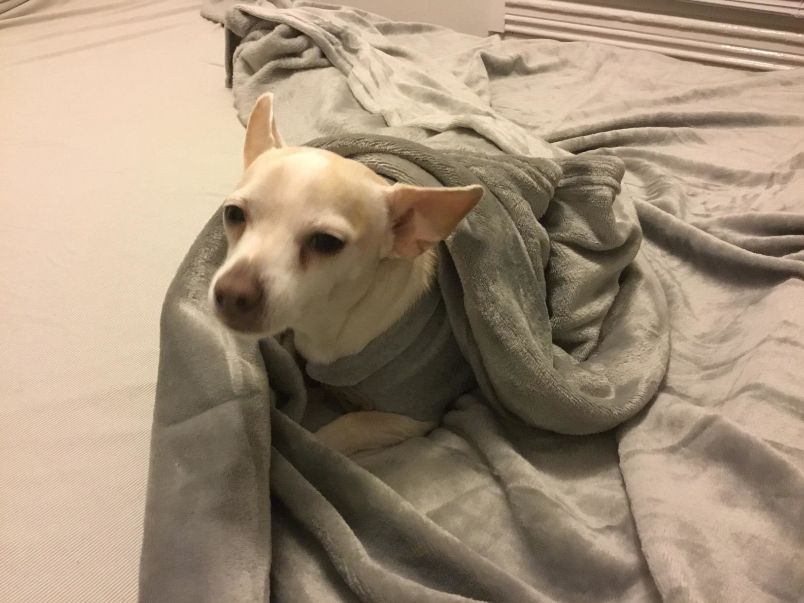 A small dog wrapped up in a grey fleece blanket.