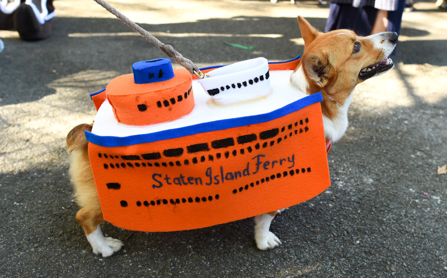 a corgi dressed as the staten island ferry over their sweater