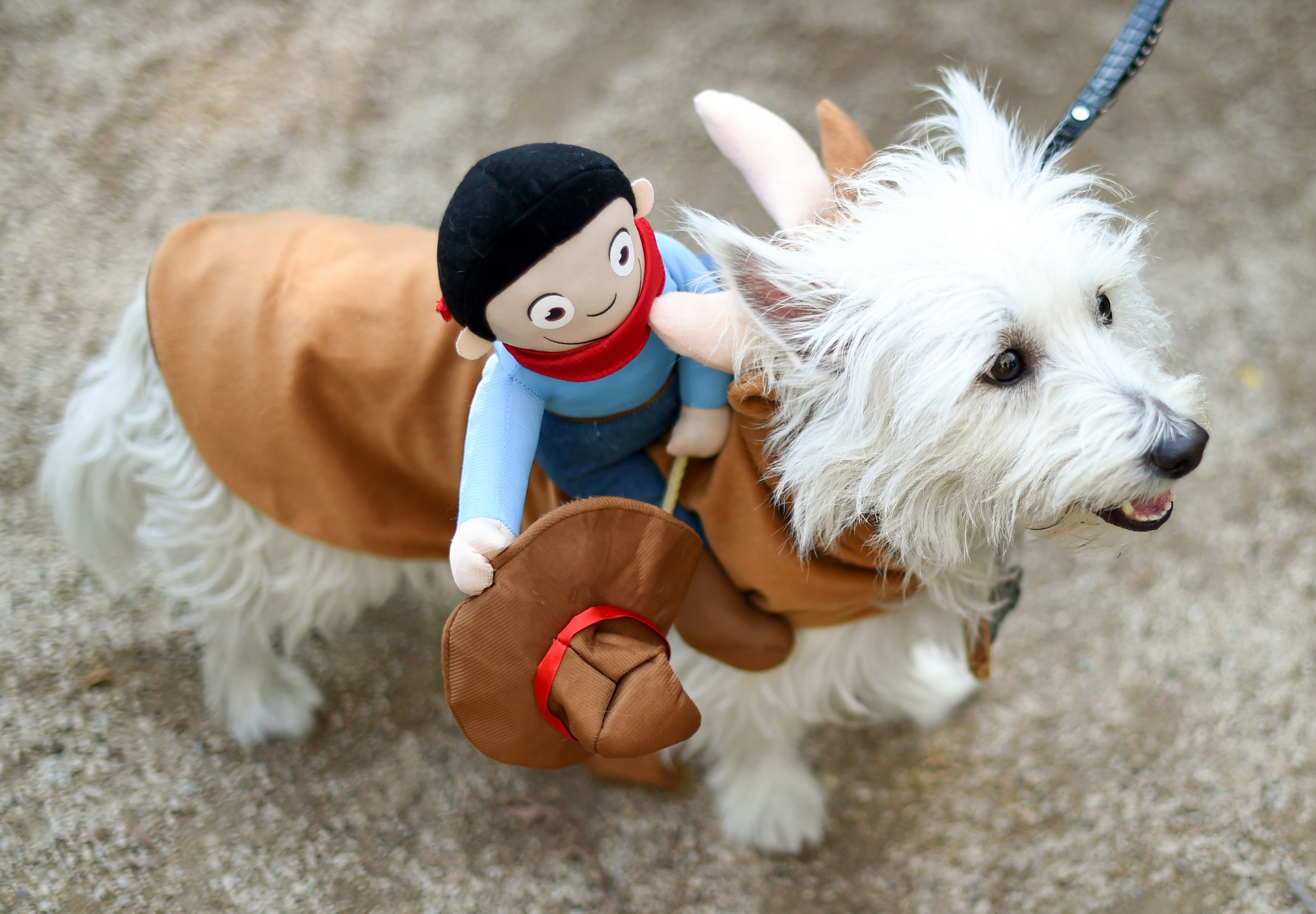 a small dog wearing a costume that has a cow boy on top of the sweater
