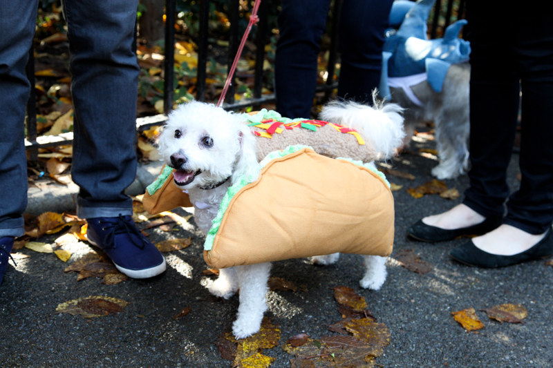 small dog dressed as a taco looking happy at the park