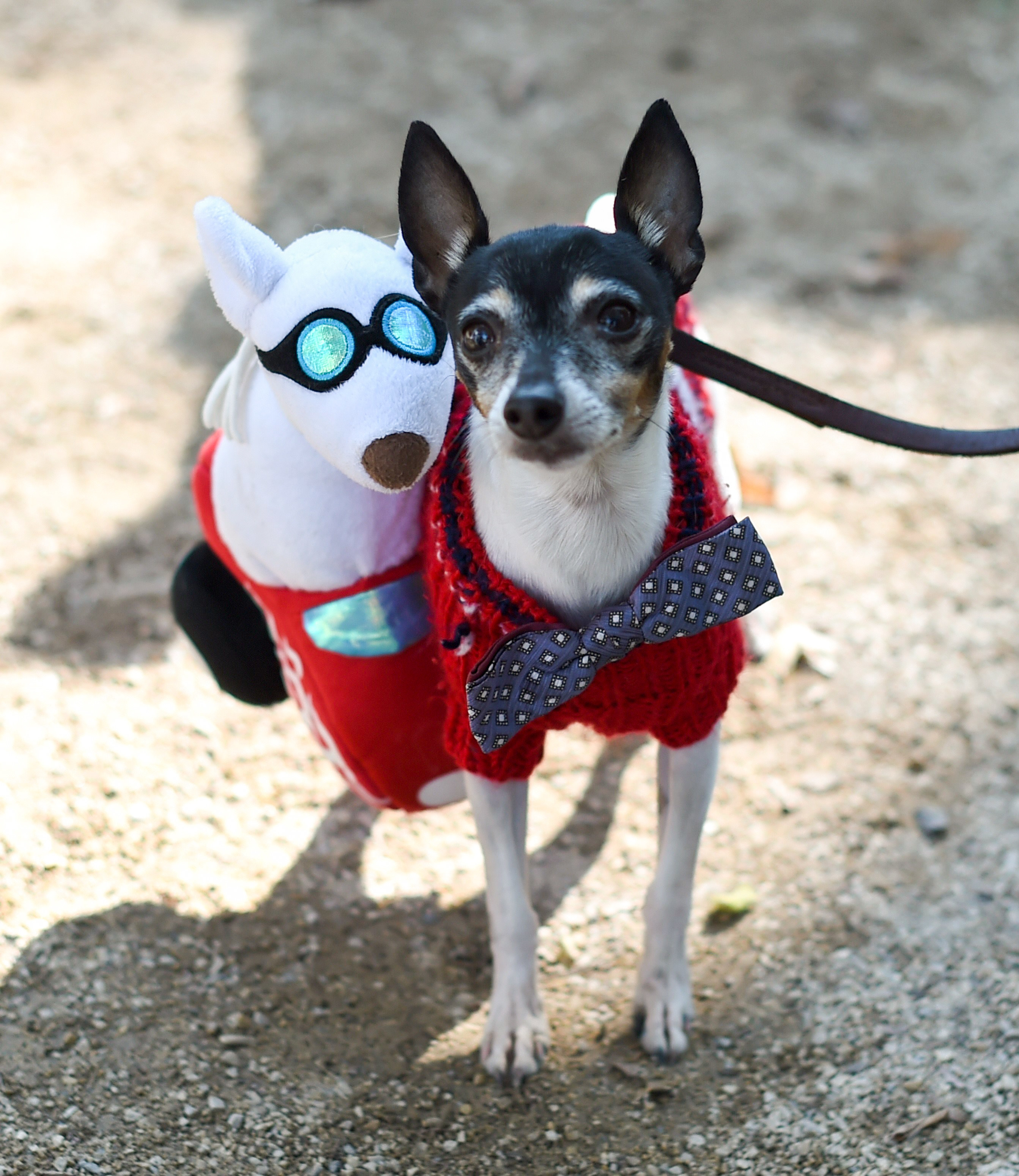 small dog wearing a sweater as a costume with a fake dog attached to the right side of their sweater