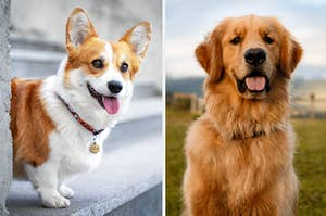 Side-by-side images of a corgi and a golden retriever