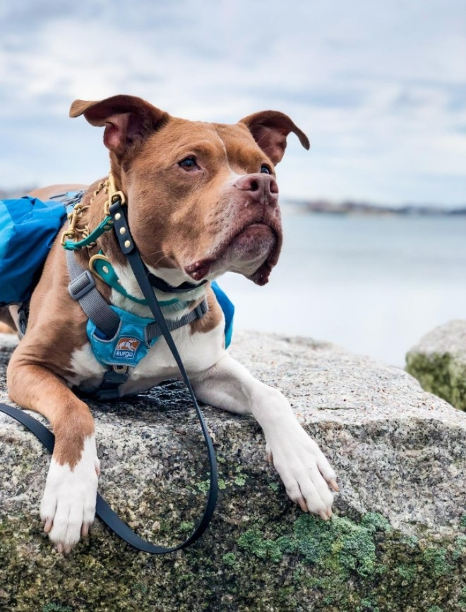 Reviewer's dog wearing a saddlebag backpack while hiking