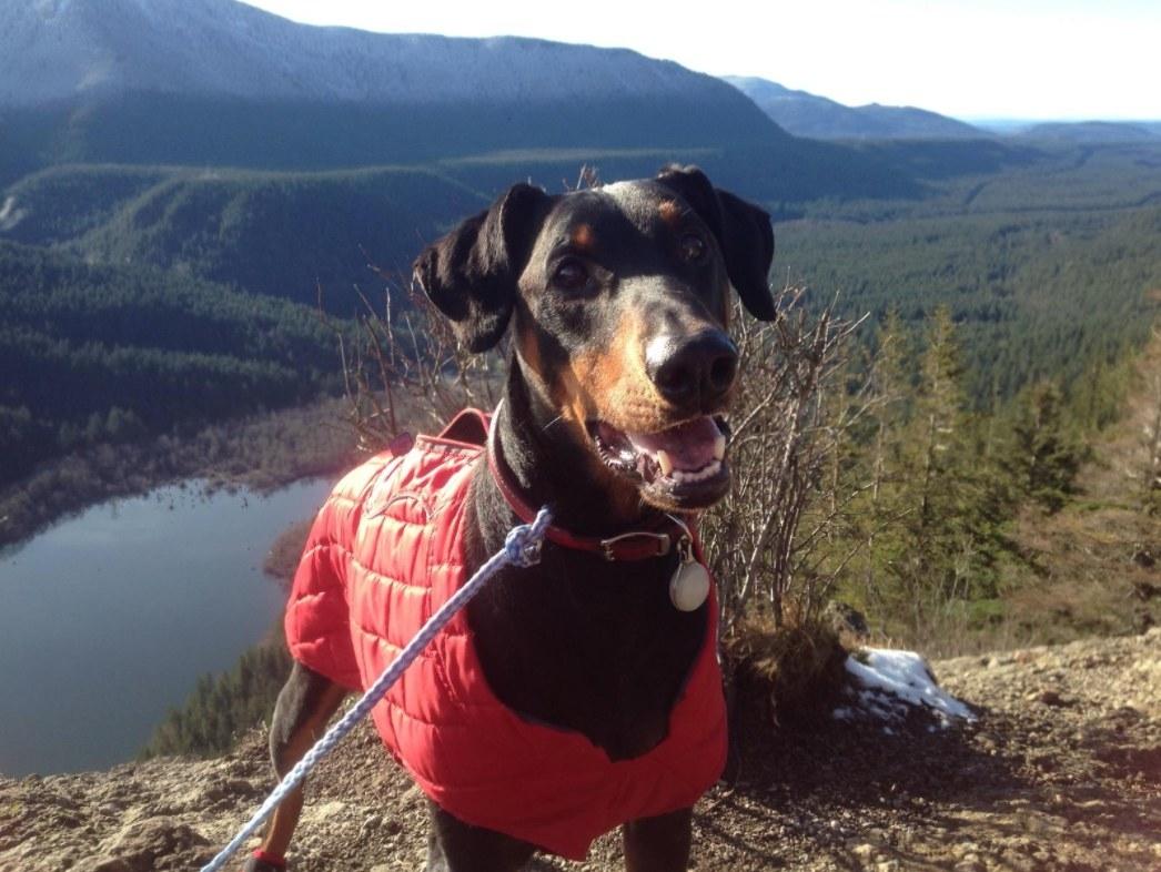 Reviewer's dog wearing the red reversible jacket