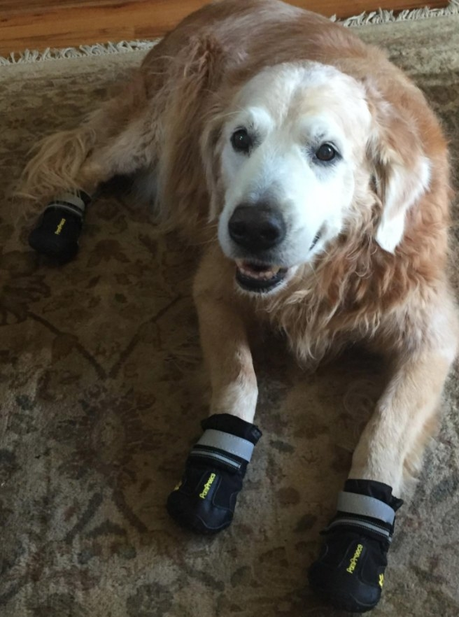 Hank the dog wearing booties