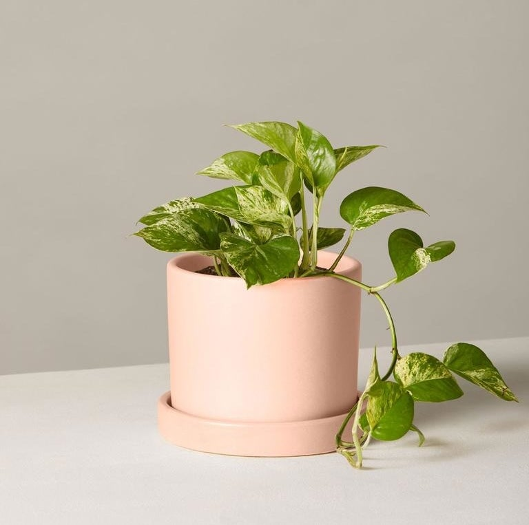 The marble queen pothos plant in a pink pot