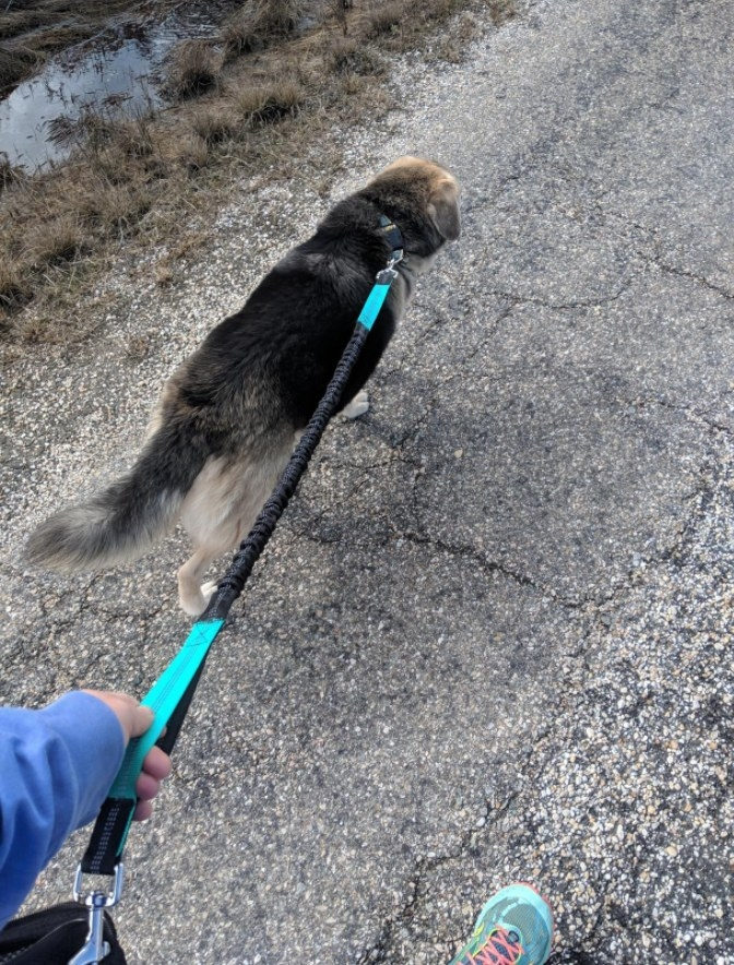 Reviewer's dog running with owner and showing the shock absorbing power of the leash