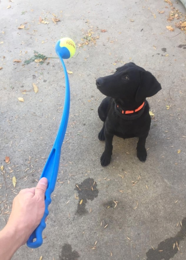 Reviewer's dog waiting for his owner to throw the ball using the ball launcher