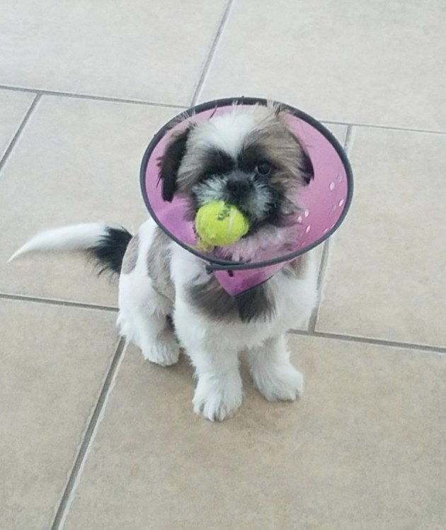 Reviewer's dog wearing the cone of shame with a squeaky toy in his mouth