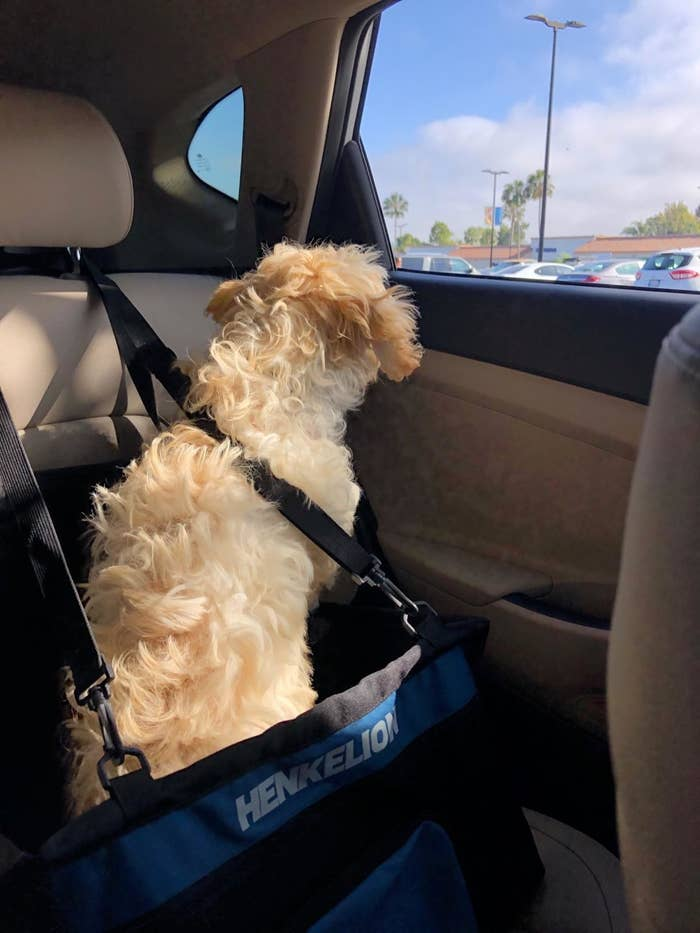 Dog in blue and black car seat booster basket