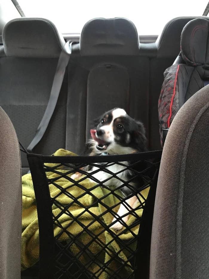 Dog behind black mesh barrier hooked on front seat headrests
