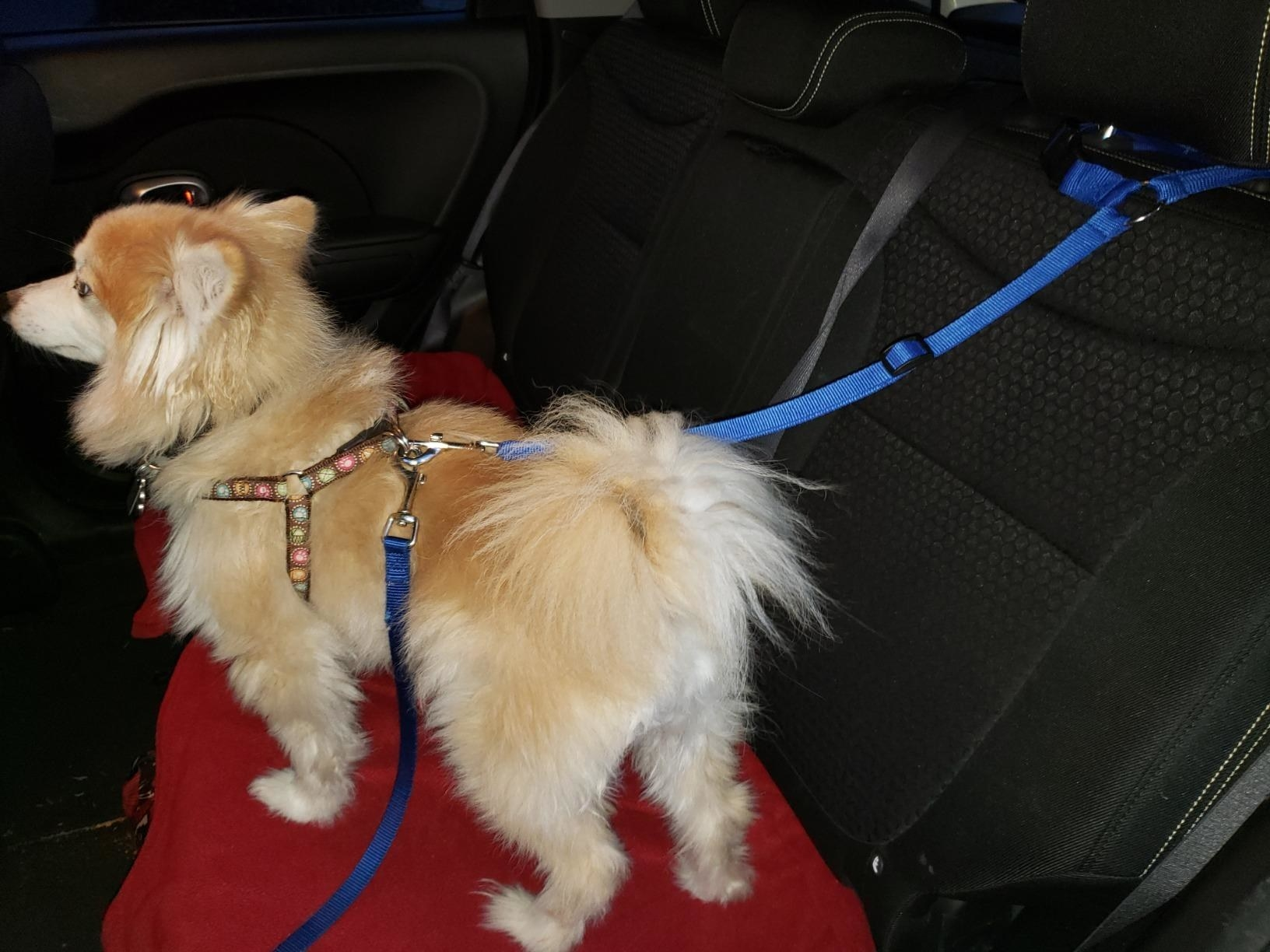 Dog with blue safety strap in car