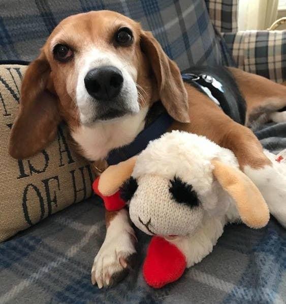 Beagle cuddling with the lamb plush toy