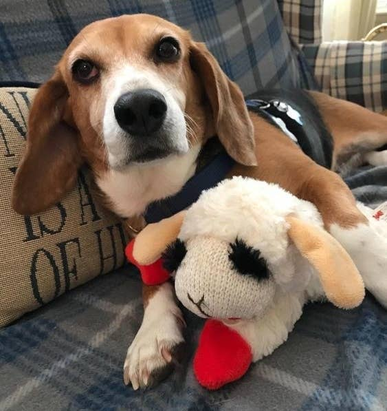 Beagle cuddling with the lamb plush toy