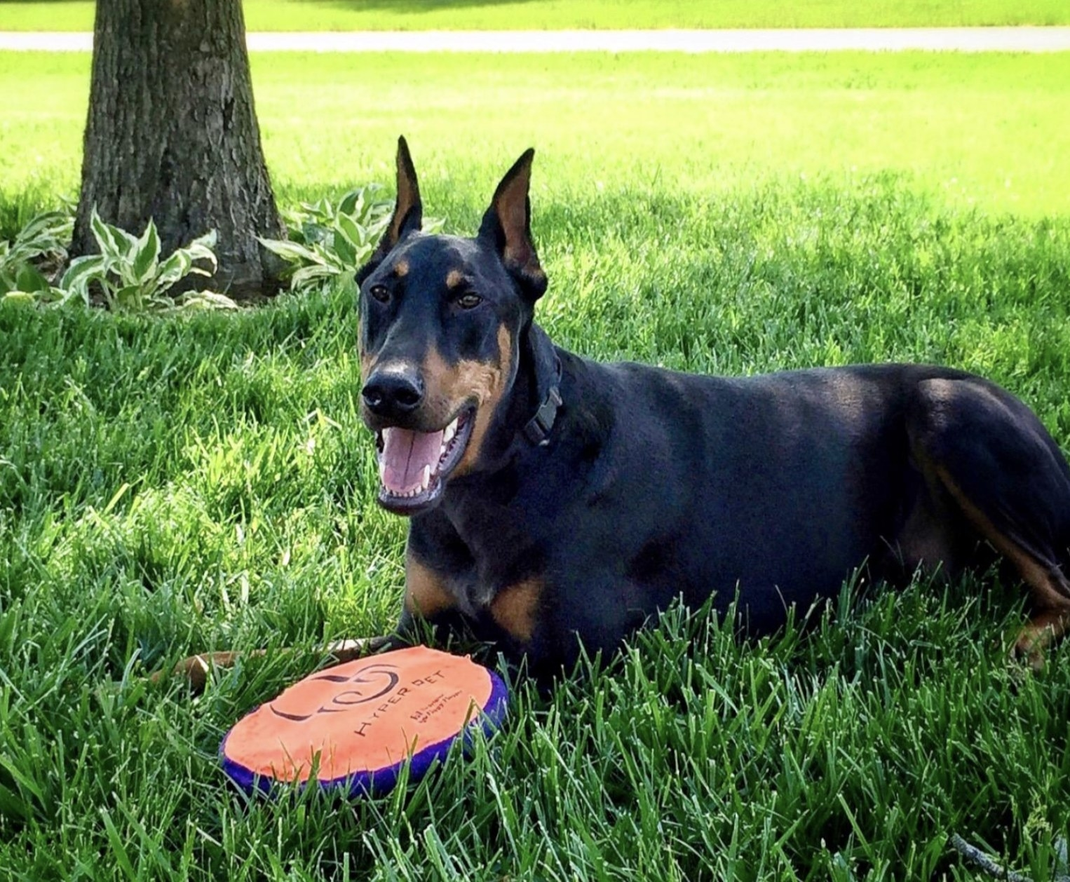 a black and brown dog sitting in grass with an orange frisbee in front of them