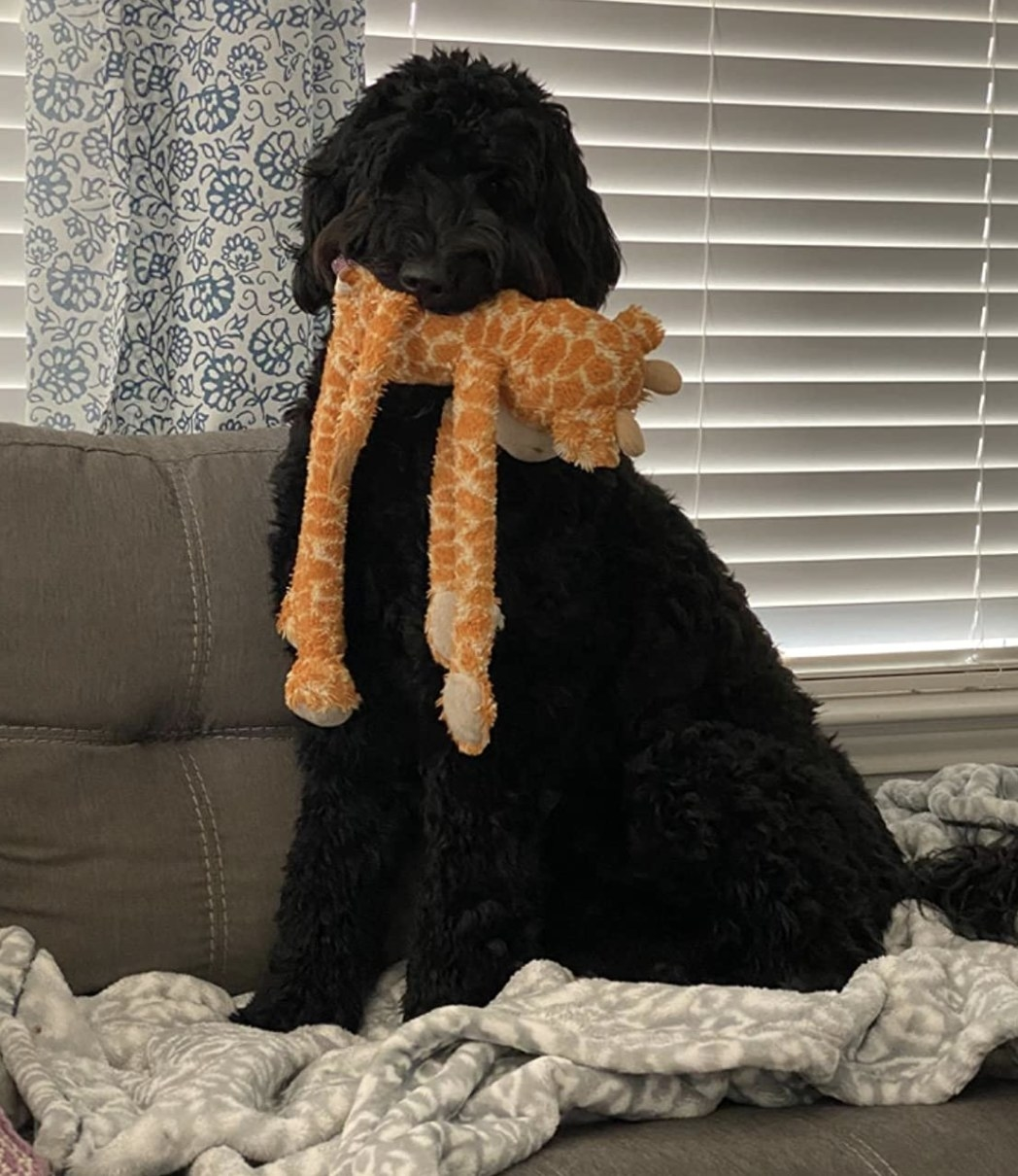 A black dog with an orange and yellow stuffed giraffe toy in its mouth