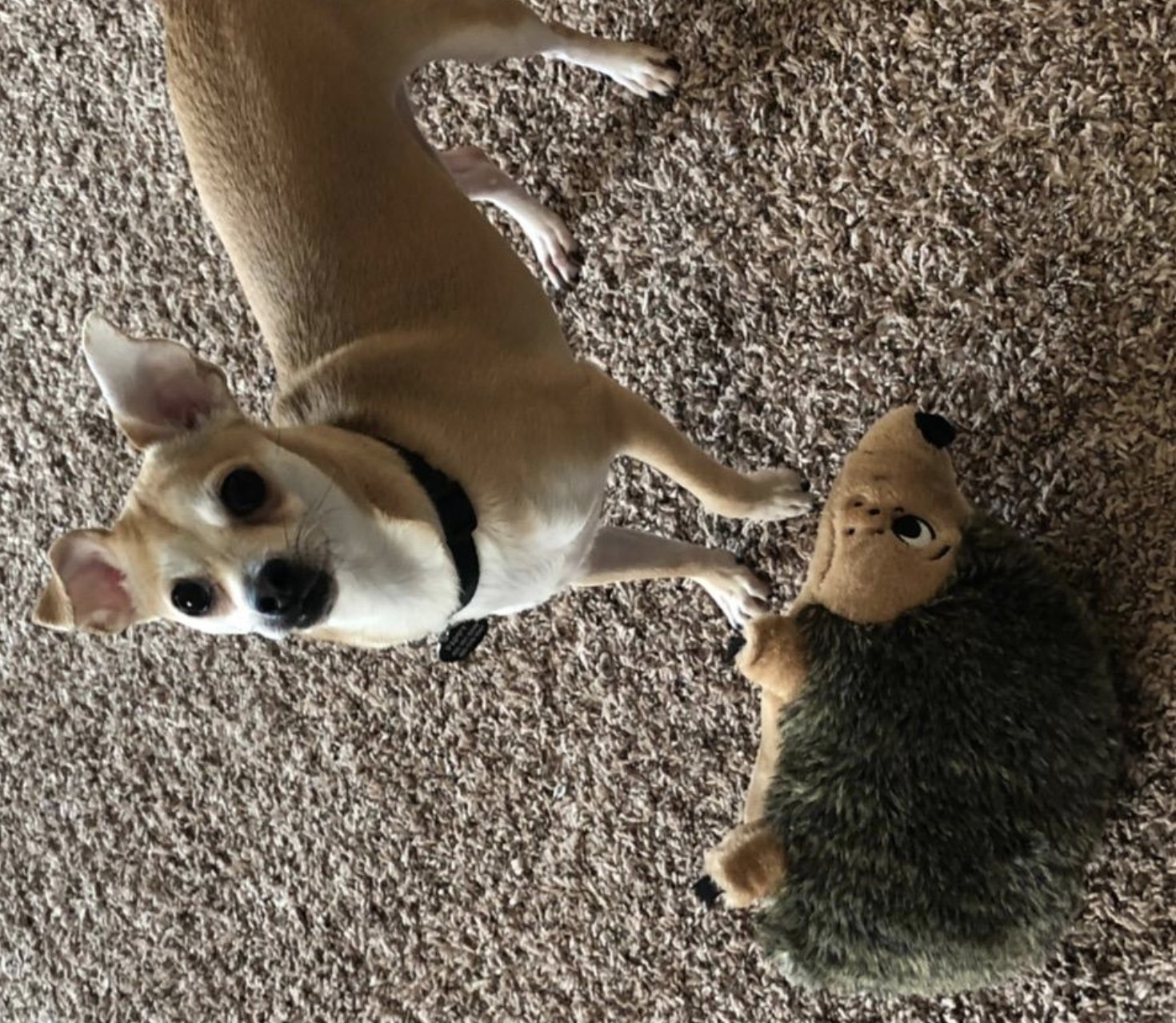 a beige chihuahua with a brown and tan stuffed hedgehog toy