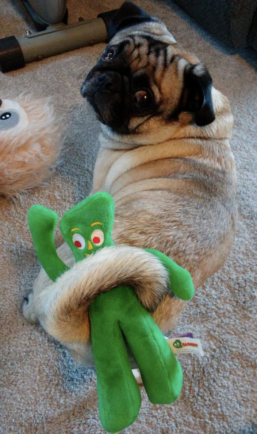 a pug holding a green plush gumby toy with its tail