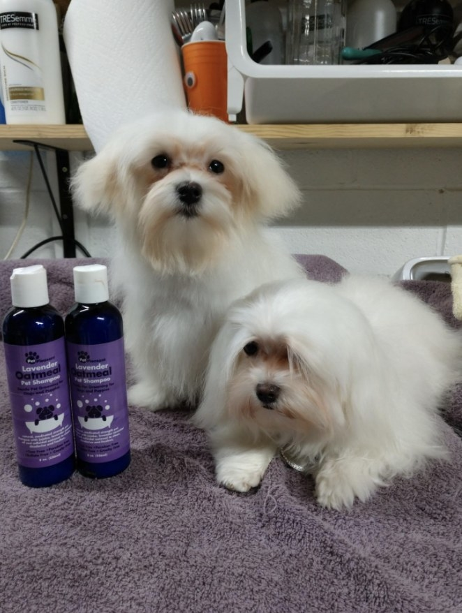 Maltese puppies after a bath using shampoo and conditioner