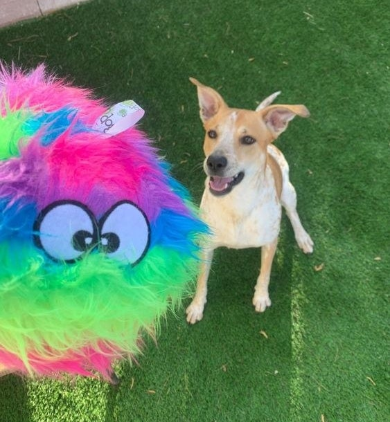 Dog playing with the rainbow fuzz ball toy outside