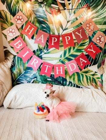 A one-eyed Chihuahua in a pink tutu and birthday crown