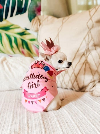 A one-eyed Chihuahua in a pink birthday girl scarf and sparkly pink crown