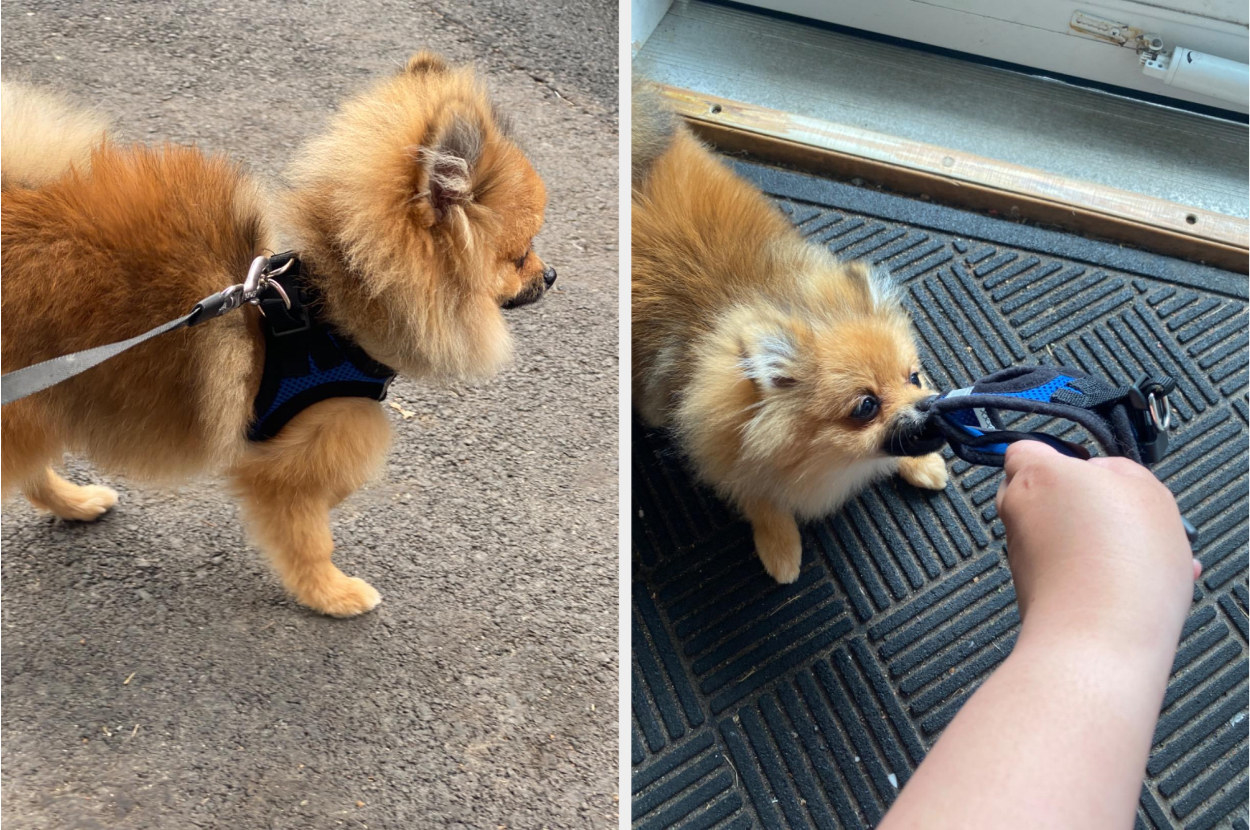 Reviewer's split image of a dark tan Pomeranian wearing and chewing on a blue and black harness