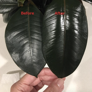 reviewer photo of leaf on the left looking dull and leaf on the right looking shiny
