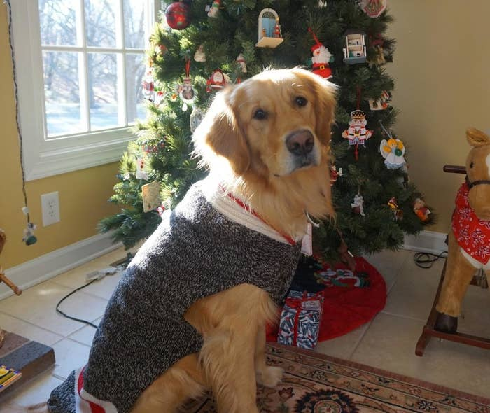 A fully grown golden retriever wearing the sweater, which covers its entire back, but leaves the belly area mostly exposed