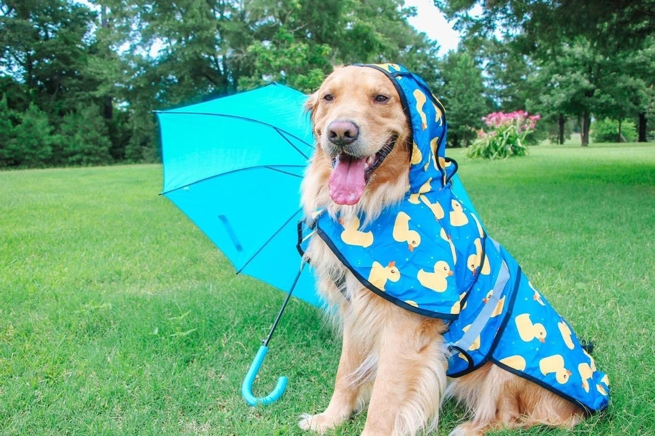 The raincoat, in blue with yellow rubber ducky print, cover the dog's back and the top of its head, tied under its chin and across its belly
