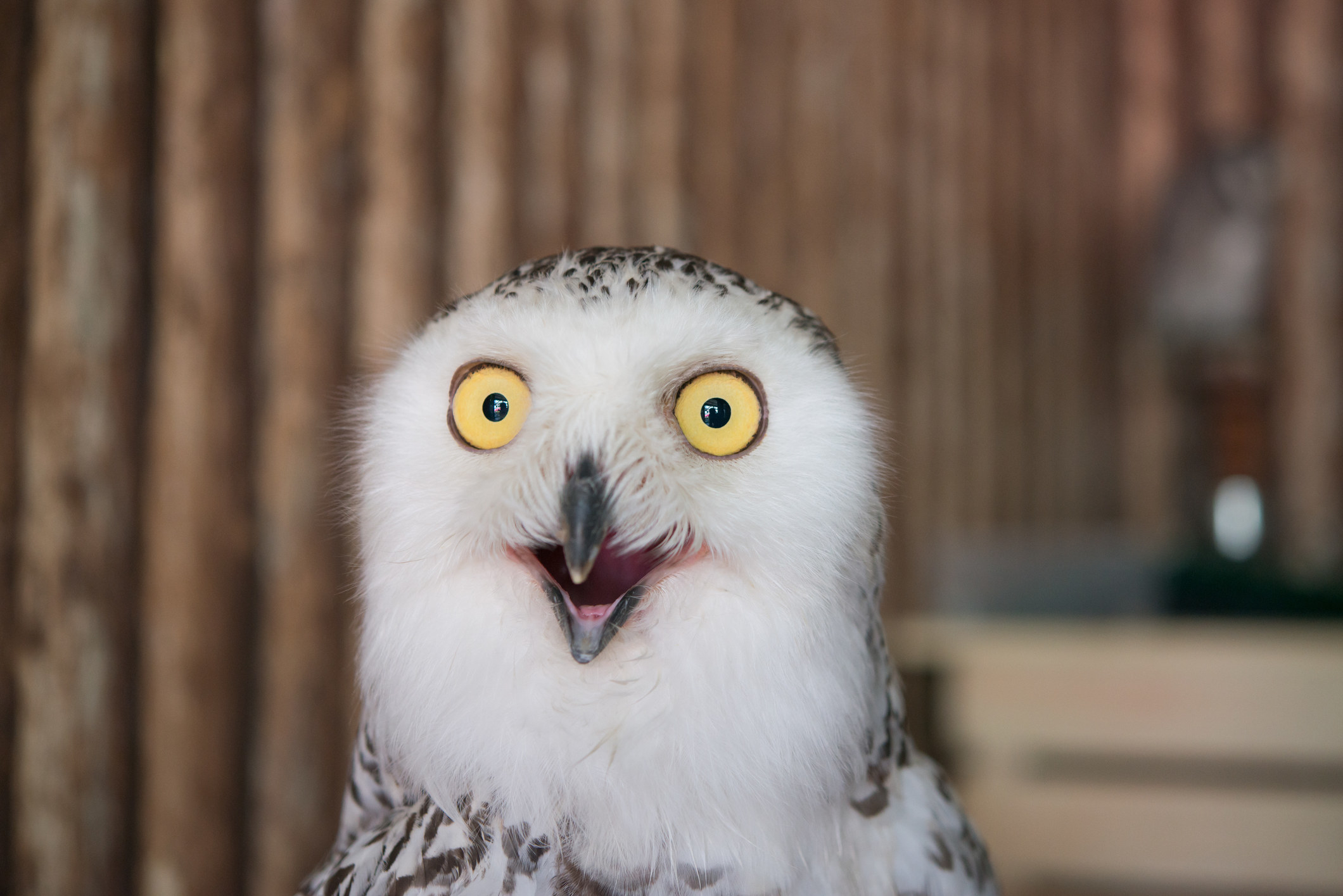 owl staring straight at you with creepy face and wide eyes