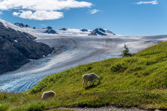 Mountain goats feeding on grass with Exit Glacier on the background at Kenai Fjords National Park
