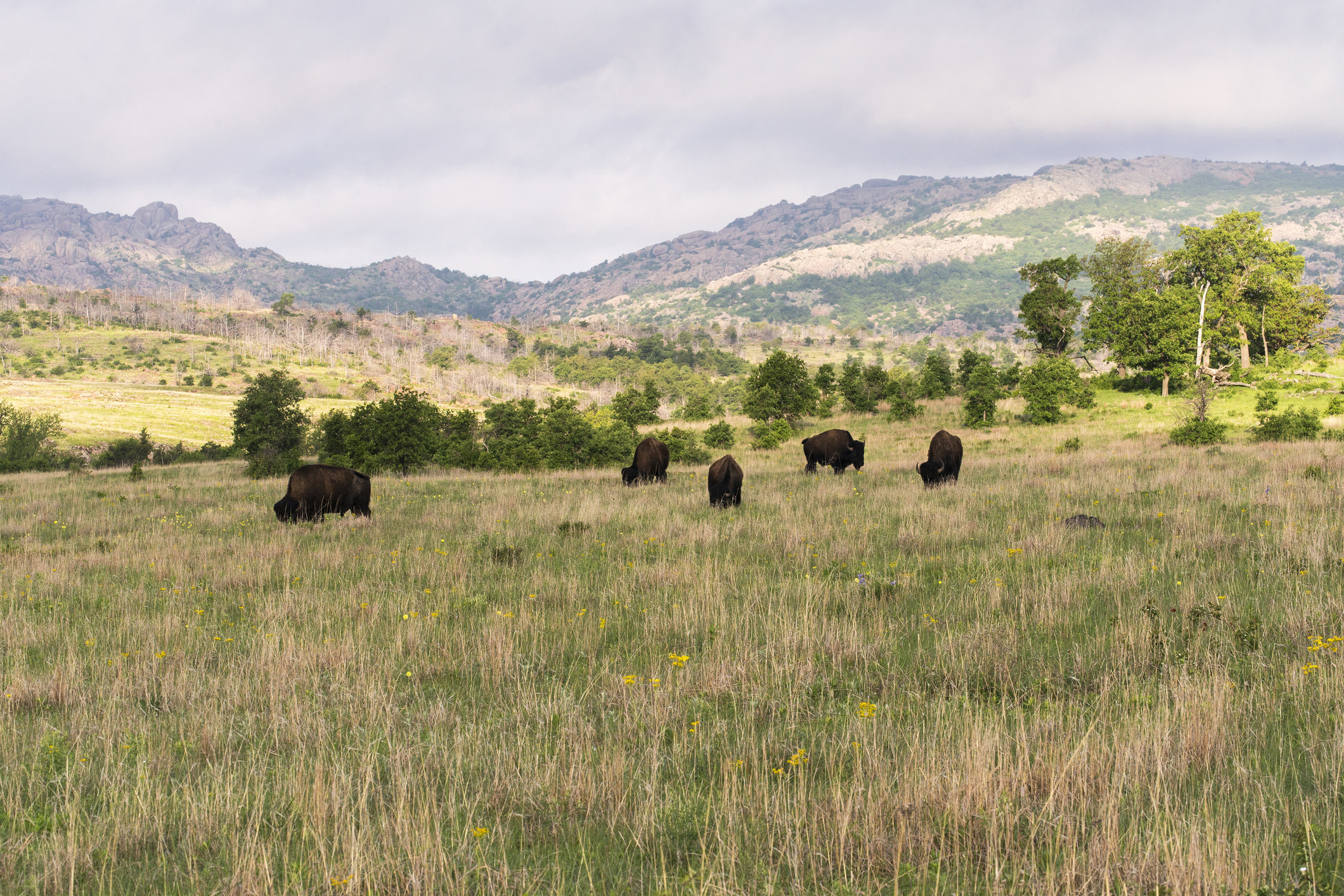 Bison grazing in a field with long grass at the Wichita Mountains National Wildlife Refuge.