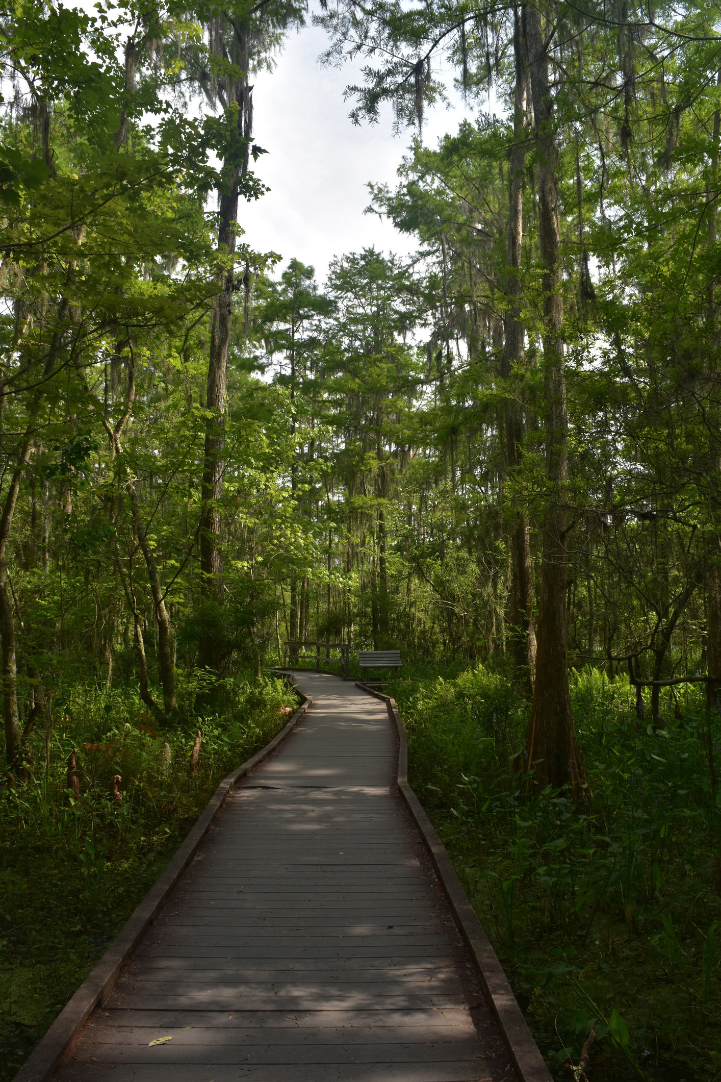 Beautiful wooden path through Barataria Preserve in the swamp.
