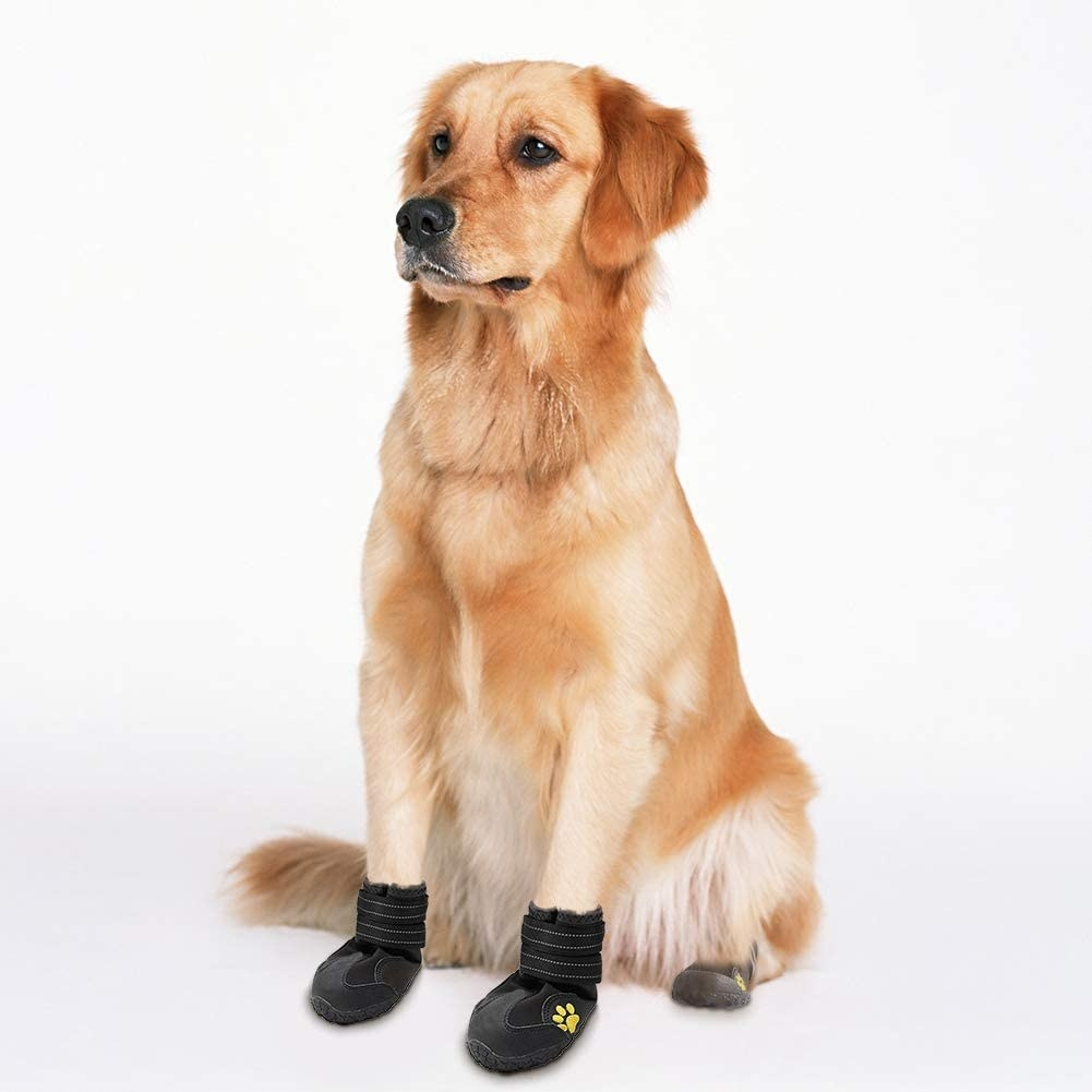 A golden retriever wearing the booties, which are secured across the ankle area with thick velcro straps