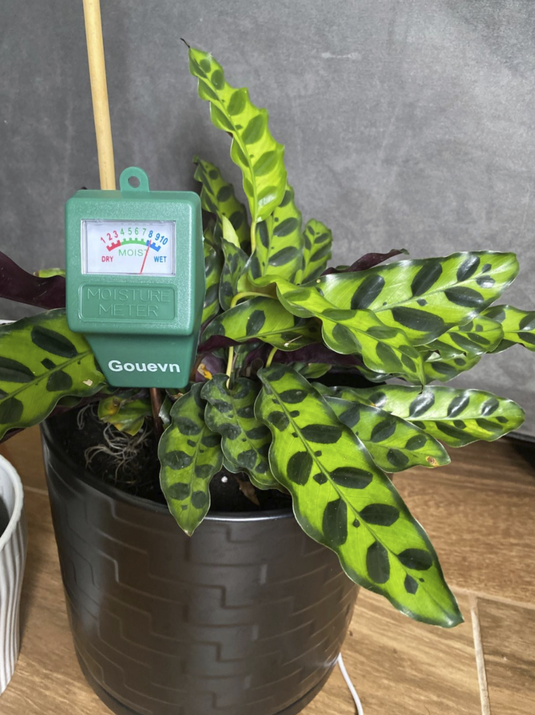 """a potted plant with the moisture meter sticking out of it. It's reading as """"level 8"""" on the """"wet"""" part of the scale"""