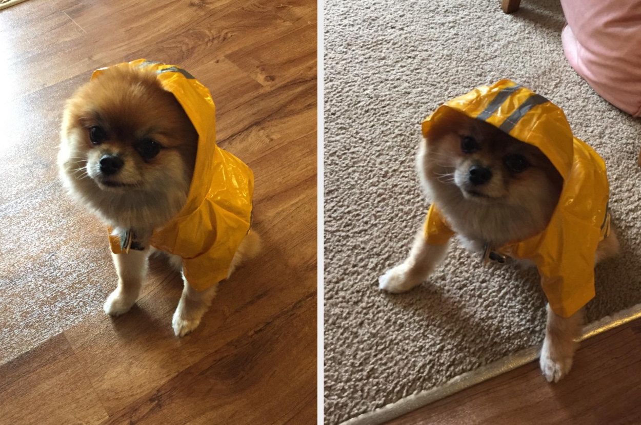 A reviewer's images of a tan Pomeranian wearing a yellow raincoat with hood down and hood up