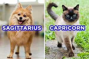 "On the left, a cute, fluffy puppy with its tongue hanging out labeled ""Sagittarius,"" and on the right, a Siamese cat walking outside in the grass labeled ""Capricorn"""