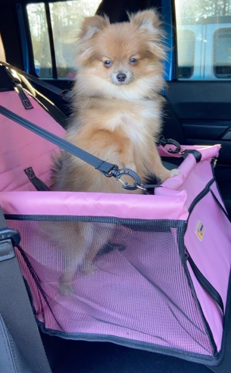 Tan Pomeranian in bright pink car seat