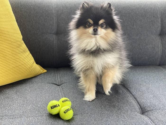 Black and tan Pomeranian with three small yellow Kong tennis balls