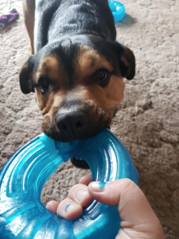 A puppy tugging on a blue, rubber ring