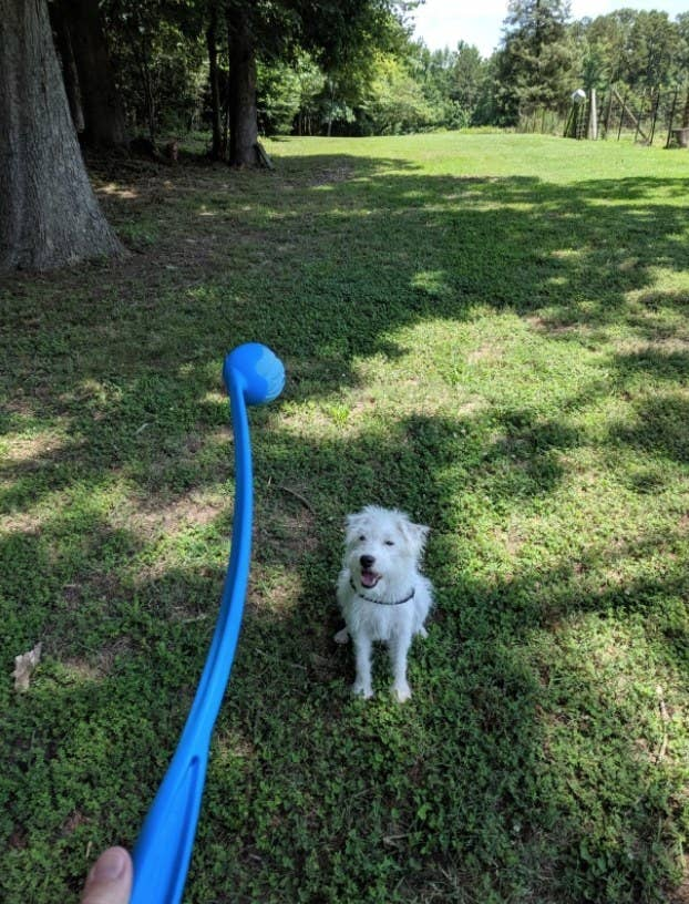 A dog looking at a plastic ball thrower and tennis ball