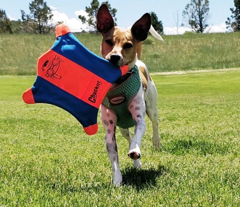 """A small dog fetching a """"flying squirrel"""" shaped frisbee"""