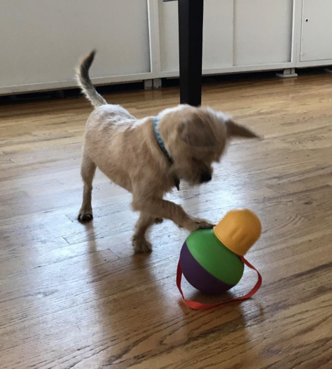 A small terrier playing with a bobbing treat dispenser toy
