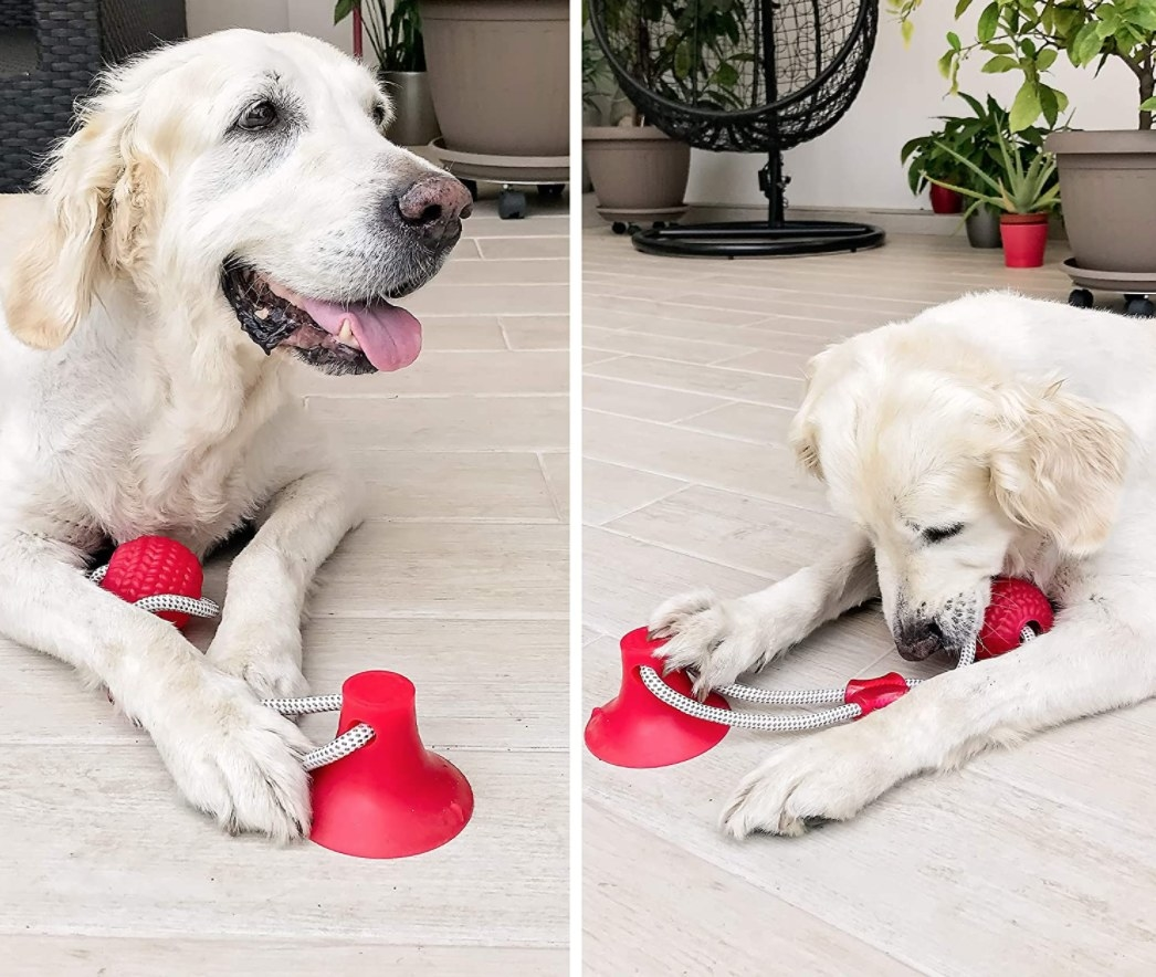 An old dog playing with a red ball attached to a suction cup
