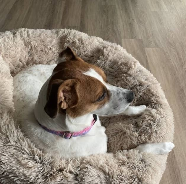Reviewer's dog laying on the fluffy circular bed